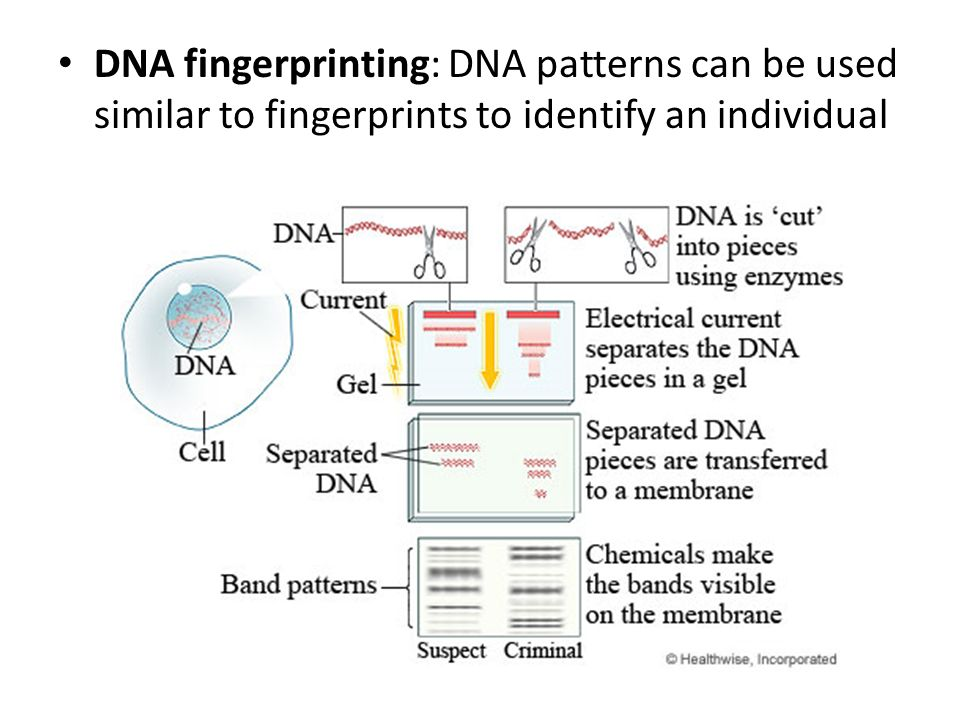 DNA fingerprinting: DNA patterns can be used similar to fingerprints to identify an individual