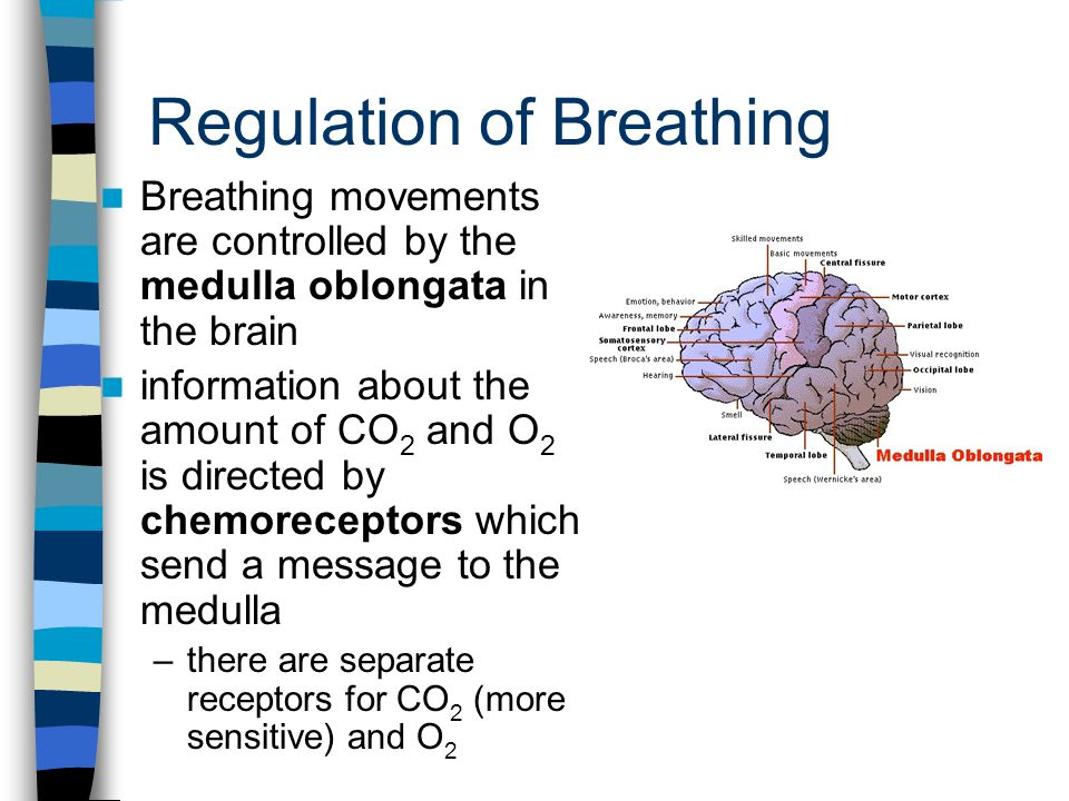 Regulation of Breathing Breathing movements are controlled by the medulla oblongata in the brain information about the amount of CO 2 and O 2 is directed by chemoreceptors which send a message to the medulla –there are separate receptors for CO 2 (more sensitive) and O 2