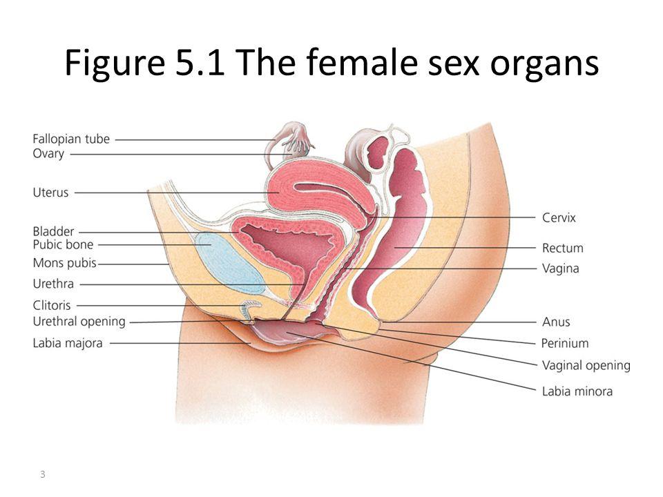 Figure 5.1 The female sex organs 3