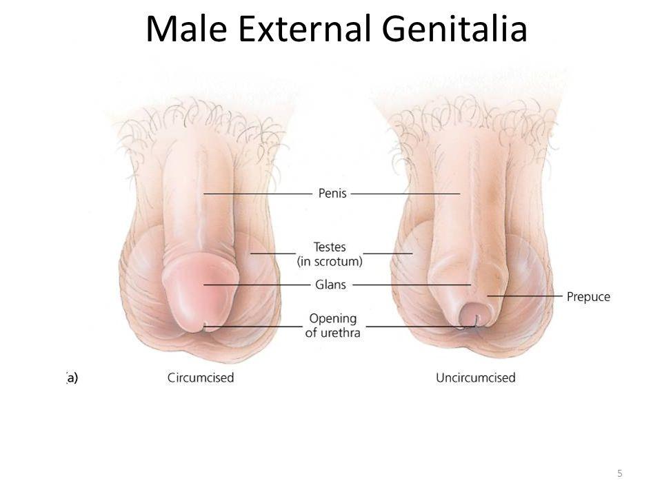 5 Male External Genitalia