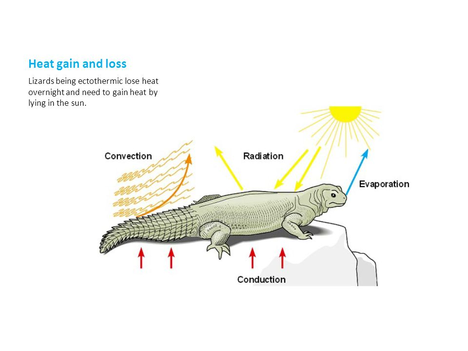 Heat gain and loss Lizards being ectothermic lose heat overnight and need to gain heat by lying in the sun.