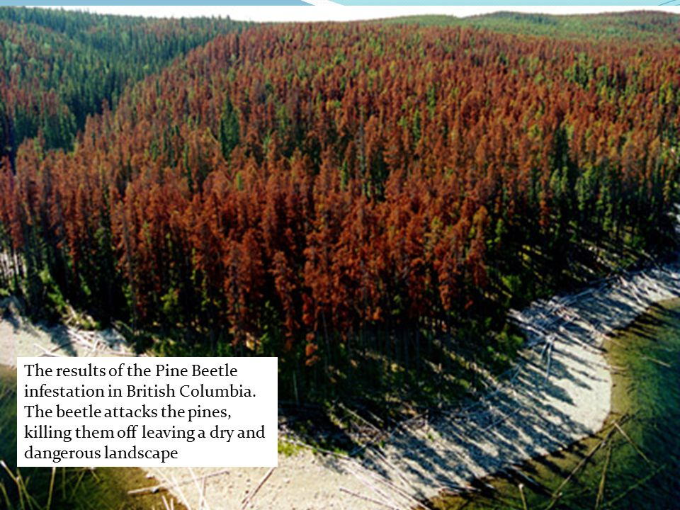 The results of the Pine Beetle infestation in British Columbia.
