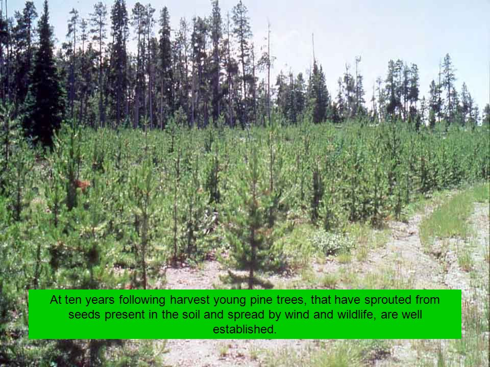 At ten years following harvest young pine trees, that have sprouted from seeds present in the soil and spread by wind and wildlife, are well established.