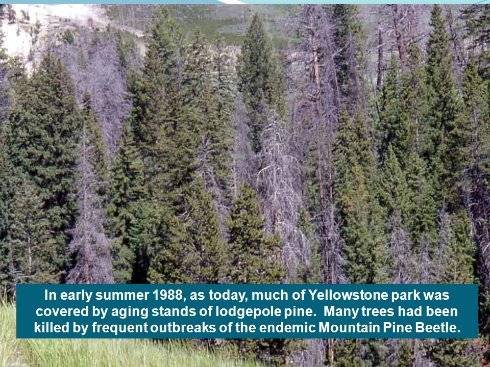 In early summer 1988, as today, much of Yellowstone park was covered by aging stands of lodgepole pine.