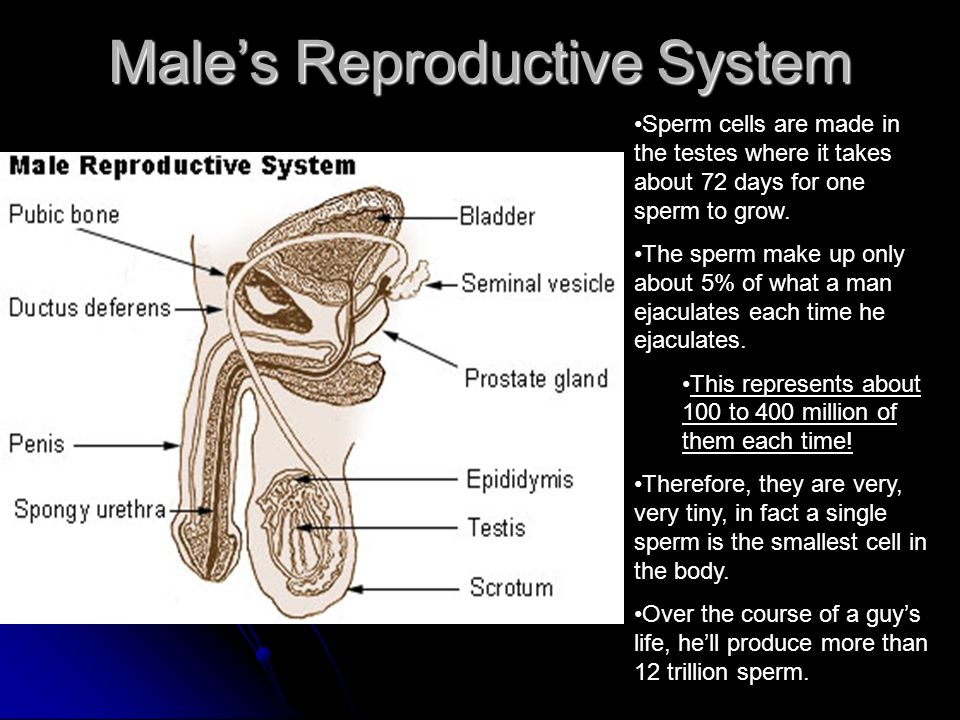 Male's Reproductive System Sperm cells are made in the testes where it takes about 72 days for one sperm to grow.