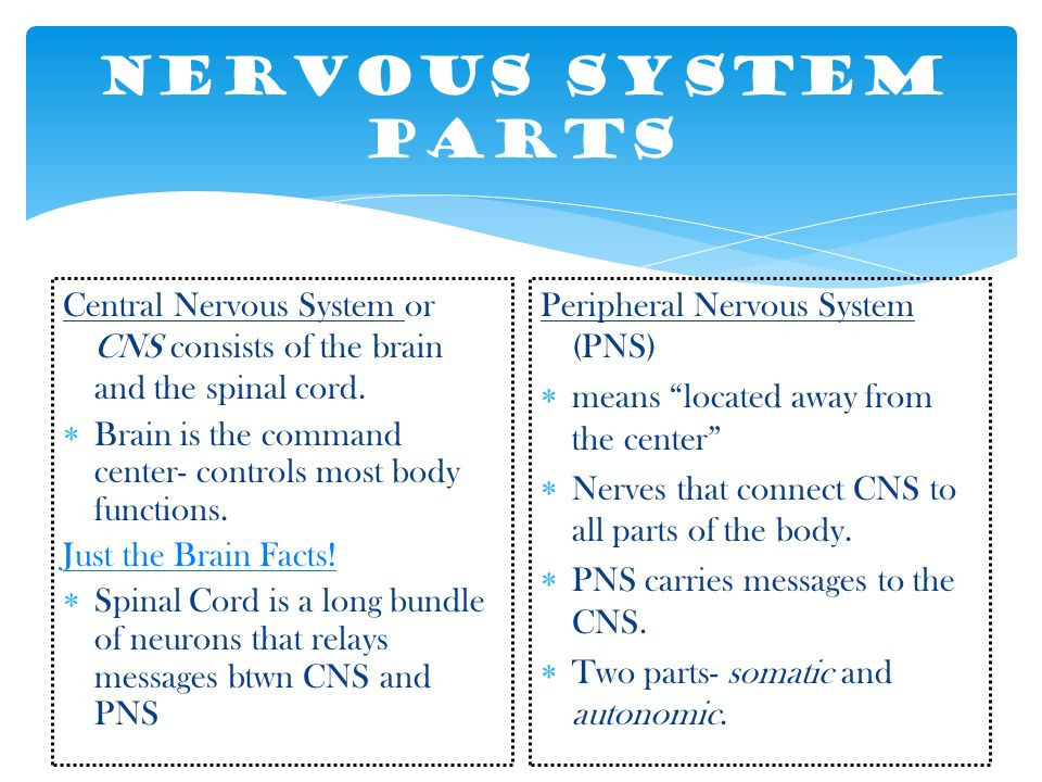 Nervous System Parts Central Nervous System or CNS consists of the brain and the spinal cord.