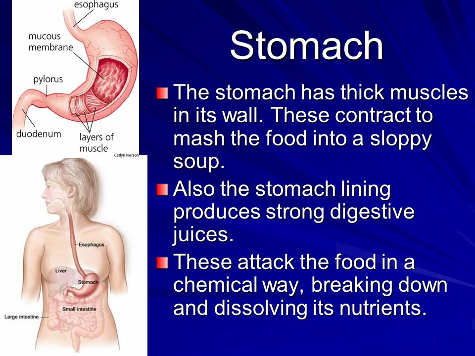 Stomach The stomach has thick muscles in its wall.