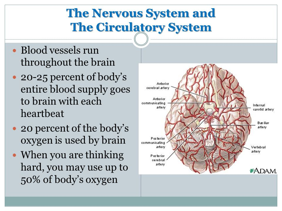 The Nervous System and The Circulatory System Blood vessels run throughout the brain percent of body's entire blood supply goes to brain with each heartbeat 20 percent of the body's oxygen is used by brain When you are thinking hard, you may use up to 50% of body's oxygen
