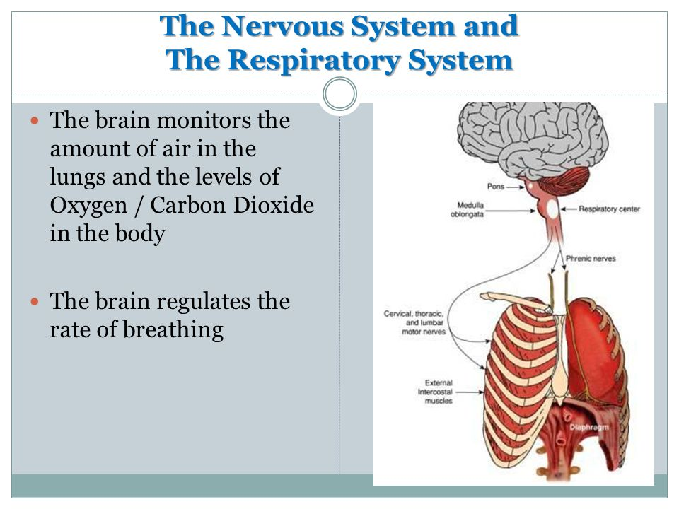 The Nervous System and The Respiratory System The brain monitors the amount of air in the lungs and the levels of Oxygen / Carbon Dioxide in the body The brain regulates the rate of breathing