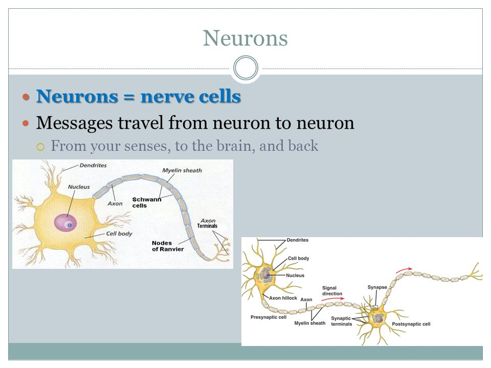 Neurons Neurons = nerve cells Neurons = nerve cells Messages travel from neuron to neuron  From your senses, to the brain, and back