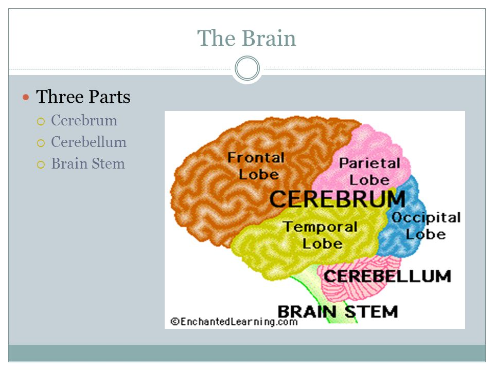 The Brain Three Parts  Cerebrum  Cerebellum  Brain Stem