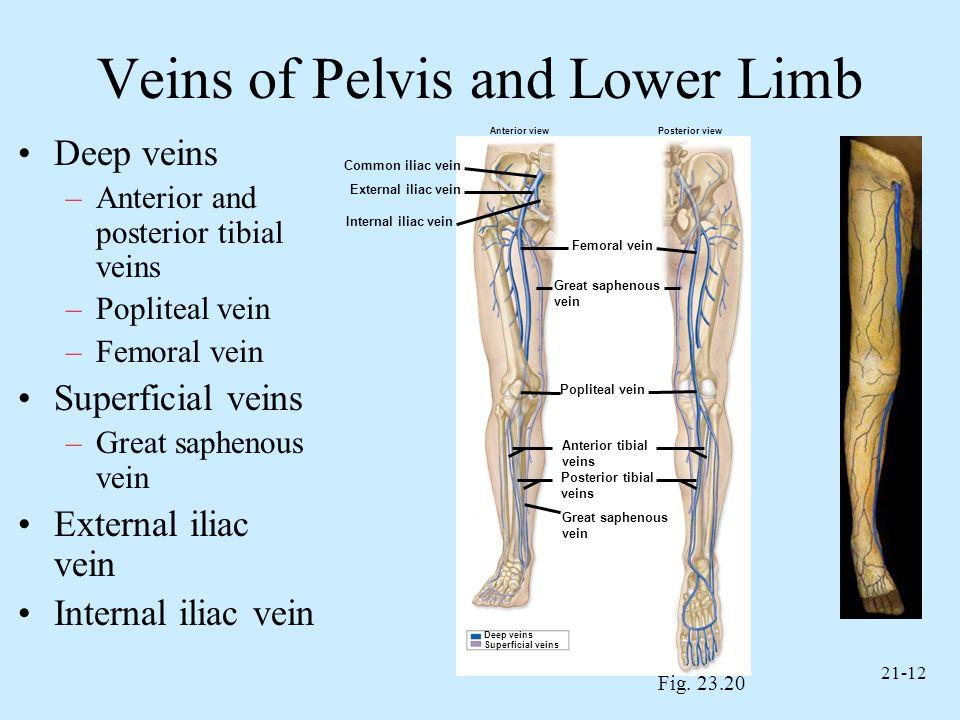 21-12 Veins of Pelvis and Lower Limb Deep veins –Anterior and posterior tibial veins –Popliteal vein –Femoral vein Superficial veins –Great saphenous
