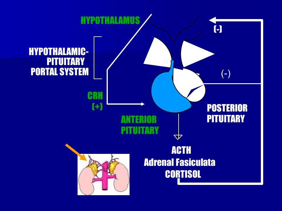 (+) POSTERIOR PITUITARY ANTERIOR PITUITARY (-) CRH HYPOTHALAMUS HYPOTHALAMIC- PITUITARY PORTAL SYSTEM ACTH CORTISOL Adrenal Fasiculata (-)