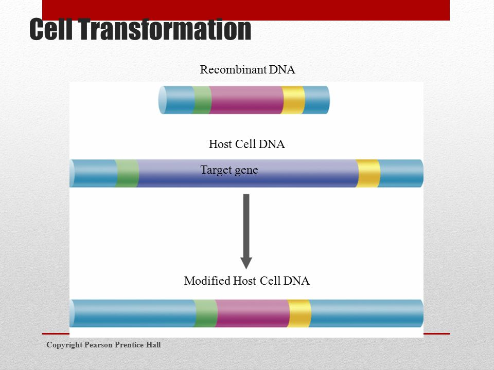 Cell Transformation Copyright Pearson Prentice Hall Recombinant DNA Host Cell DNA Target gene Modified Host Cell DNA
