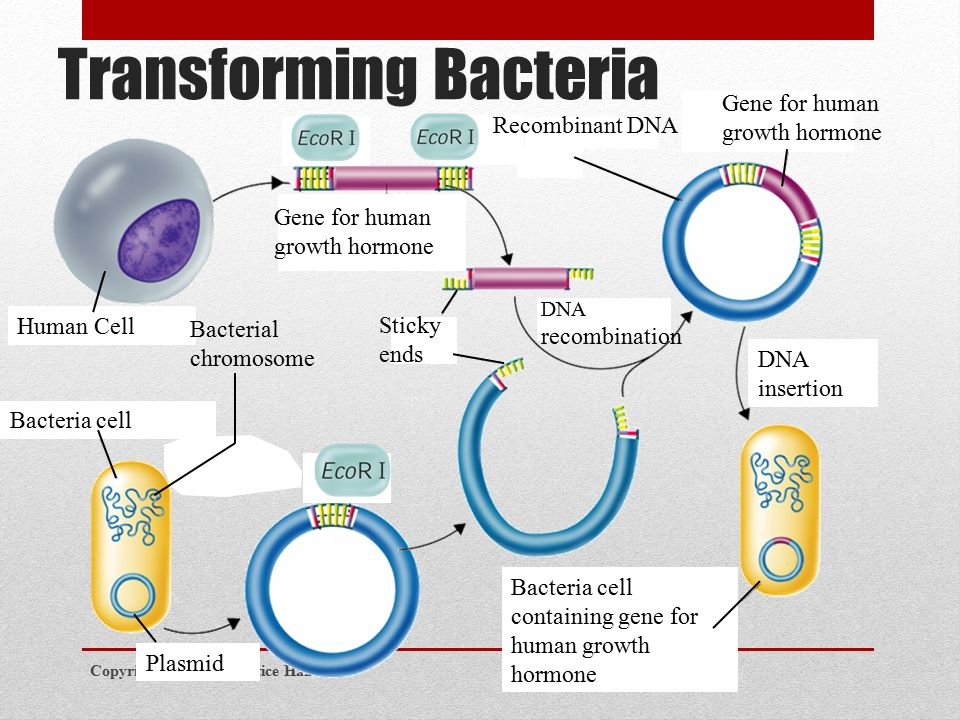 Transforming Bacteria Copyright Pearson Prentice Hall Recombinant DNA Gene for human growth hormone Human Cell Bacteria cell Bacterial chromosome Plasmid Sticky ends DNA recombination Bacteria cell containing gene for human growth hormone DNA insertion