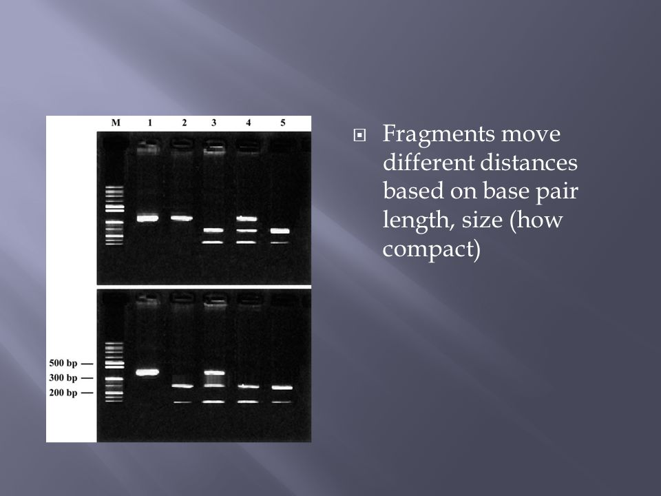  Fragments move different distances based on base pair length, size (how compact)