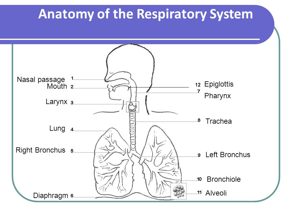 a p ii anatomy of the respiratory Which respiratory ailments can respiratory volume tests be used to detect chronic bronchitis and emphysema (often associated) chronic bronchitis lowers the volume of air that can be inhaled due to excessive mucus production emphysema decreases the amount of air that can be exhaled (check valve effect.
