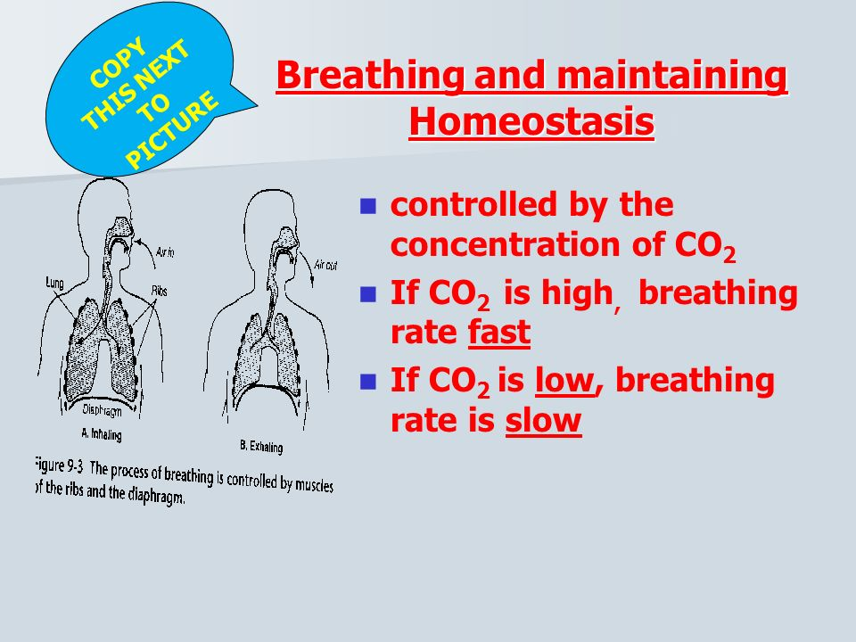 Air inhaled Diaphragm Rib cage rises Air exhaled Diaphragm Rib cage descends InhalationExhalation Figure The Mechanics of Breathing 2) Exhalation (passive) Diaphragm RISES AND RELAXES forcing air out of lungs Moving air out (caused by Chest cavity COLLAPSING)