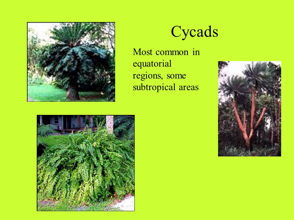 Gymnosperms : Naked Seeds (not enclosed in a fruit) 4 Major groups: Cycads: mostly tropical or subtropical regions Gingkoes: native to Southeastern China Conifers: cone bearing Gnetales: resemble angiosperms, but no flower