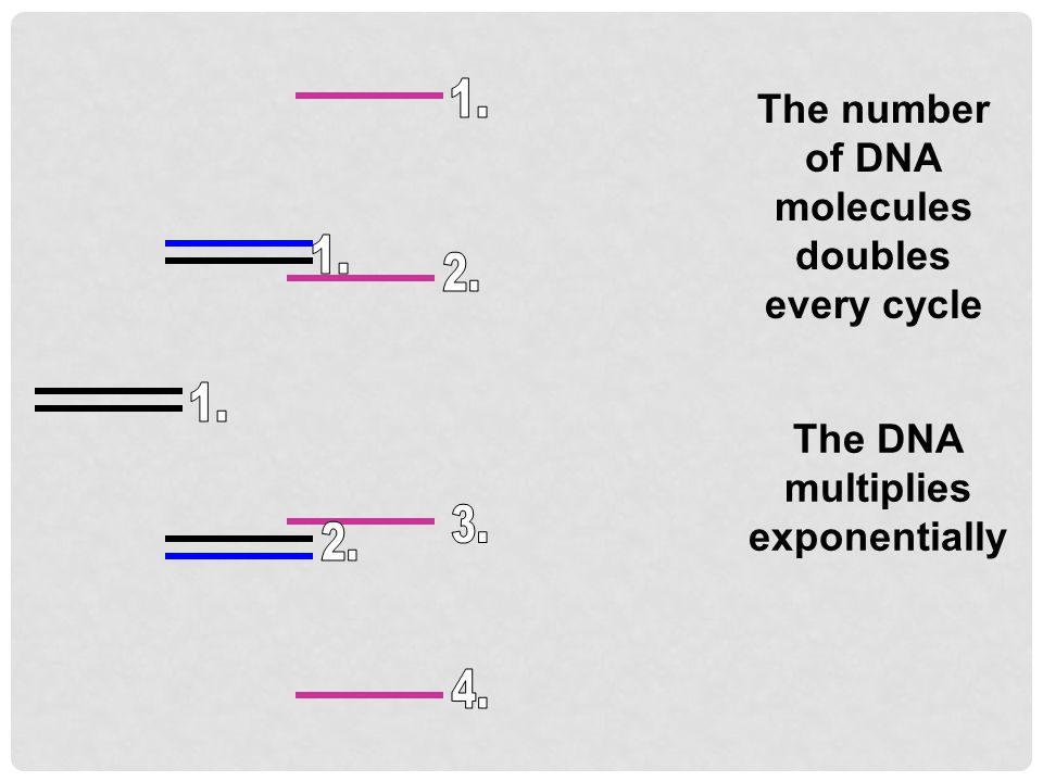 The number of DNA molecules doubles every cycle The DNA multiplies exponentially