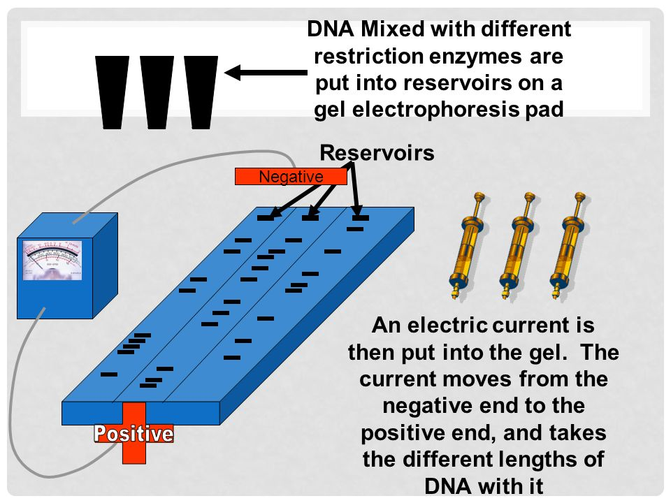Reservoirs DNA Mixed with different restriction enzymes are put into reservoirs on a gel electrophoresis pad An electric current is then put into the gel.