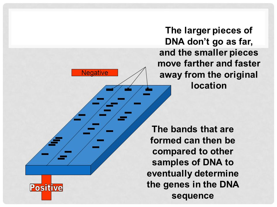 The larger pieces of DNA don't go as far, and the smaller pieces move farther and faster away from the original location The bands that are formed can then be compared to other samples of DNA to eventually determine the genes in the DNA sequence Negative