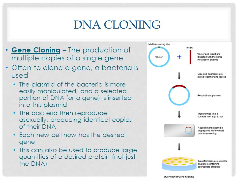 DNA CLONING Gene Cloning – The production of multiple copies of a single gene Often to clone a gene, a bacteria is used The plasmid of the bacteria is more easily manipulated, and a selected portion of DNA (or a gene) is inserted into this plasmid The bacteria then reproduce asexually, producing identical copies of their DNA Each new cell now has the desired gene This can also be used to produce large quantities of a desired protein (not just the DNA)
