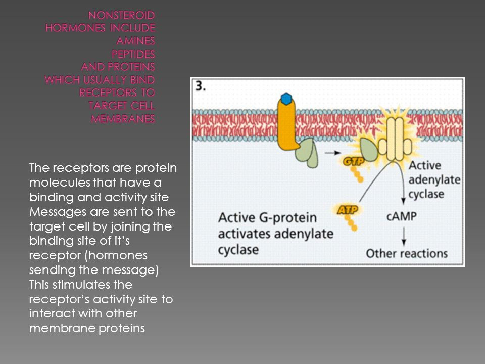The receptors are protein molecules that have a binding and activity site Messages are sent to the target cell by joining the binding site of it's receptor (hormones sending the message) This stimulates the receptor's activity site to interact with other membrane proteins