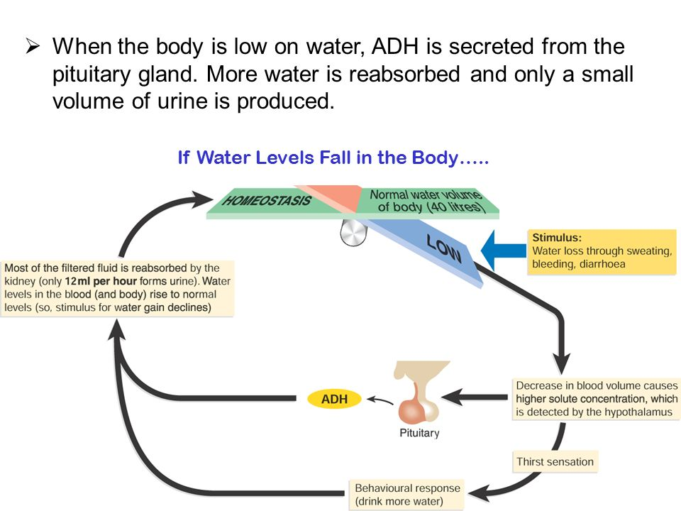 If Water Levels Fall in the Body…..