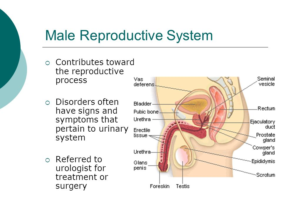 case 1 reproductive system The male reproductive system consists of a number of sex organs that play a role in the process of human reproduction.