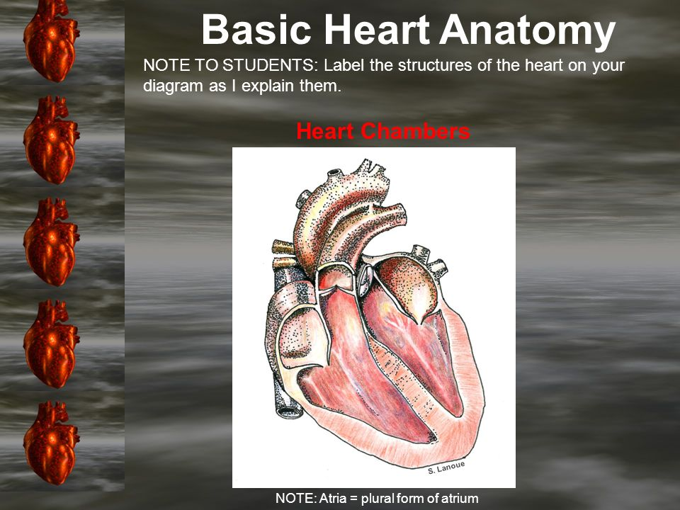 Introduction: Basic Anatomy of the Heart Chapter Learning ...