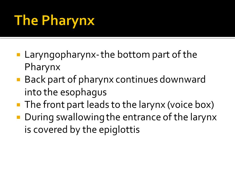  Laryngopharynx- the bottom part of the Pharynx  Back part of pharynx continues downward into the esophagus  The front part leads to the larynx (voice box)  During swallowing the entrance of the larynx is covered by the epiglottis
