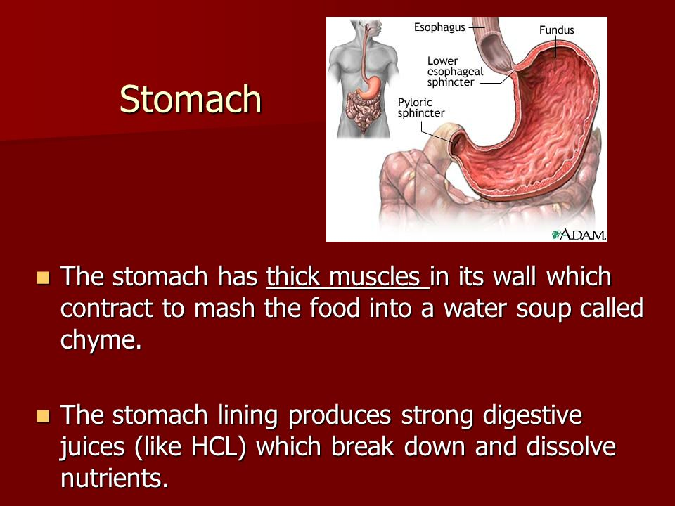 Stomach The stomach has thick muscles in its wall which contract to mash the food into a water soup called chyme.