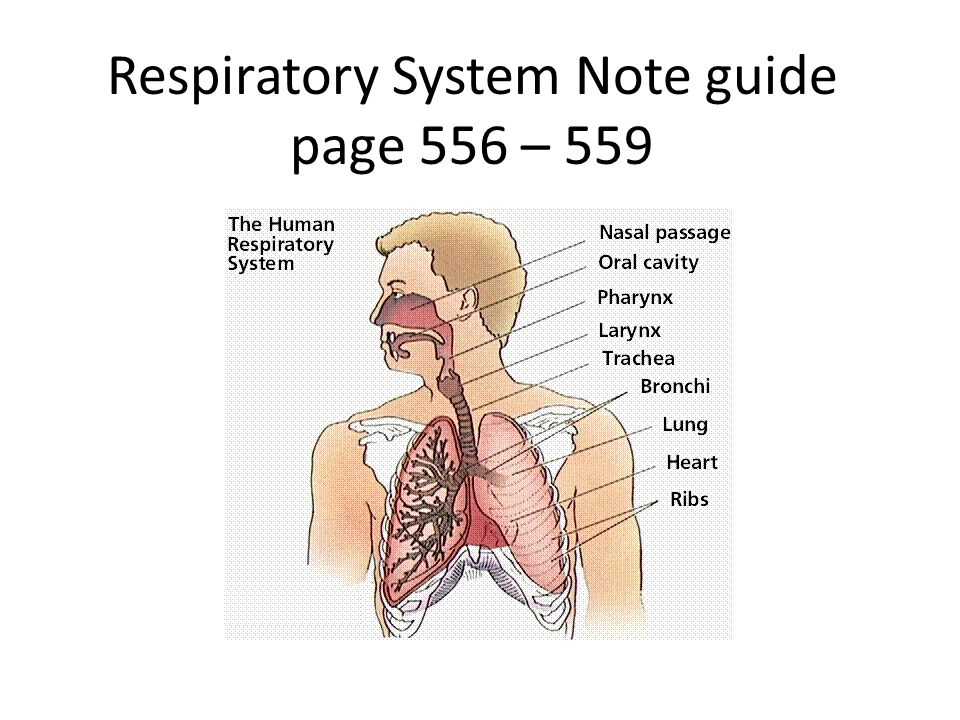 Respiratory System Note guide page 556 – 559