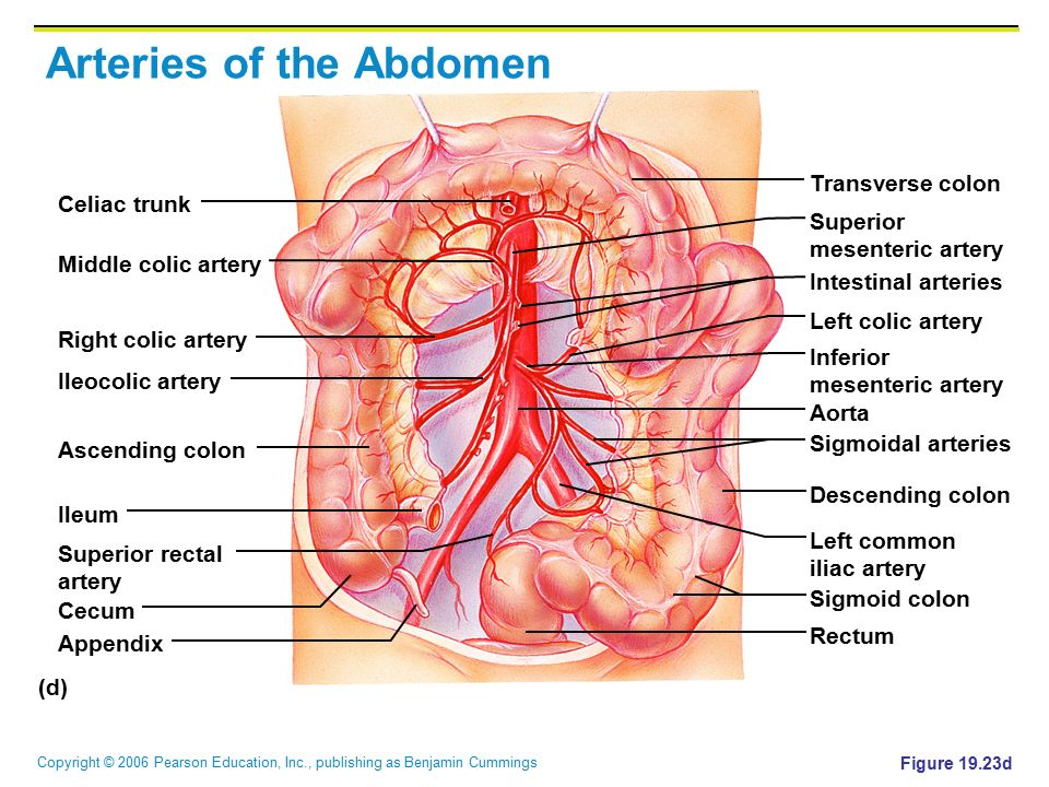 Copyright © 2006 Pearson Education, Inc., publishing as Benjamin Cummings Arteries of the Abdomen Figure 19.23d (d) Celiac trunk Transverse colon Supe