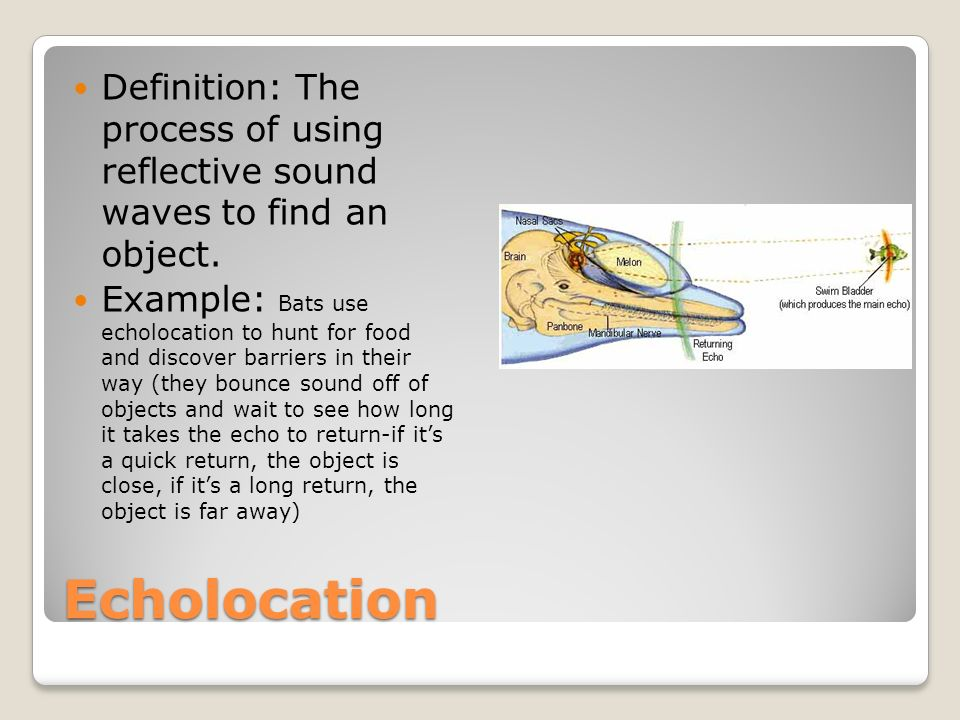 17 Echolocation Definition: ...