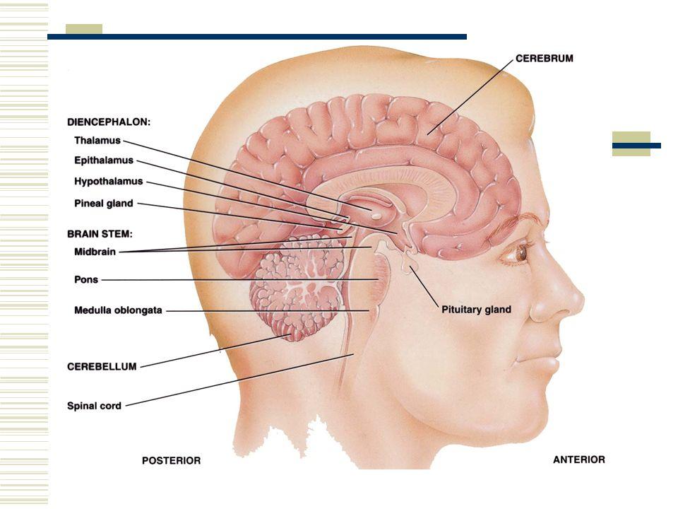 Brain & Cranial Nerves Dr. Michael P. Gillespie. Major Parts of ...