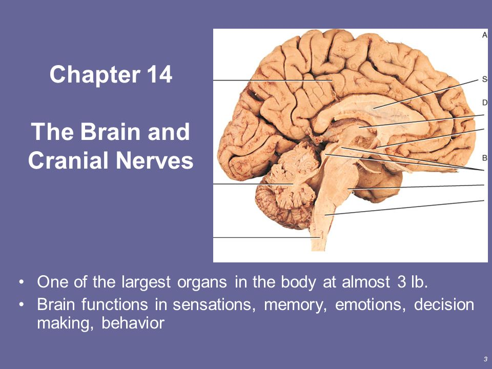 Hermosa Anatomy And Physiology Chapter 14 The Brain And Cranial ...