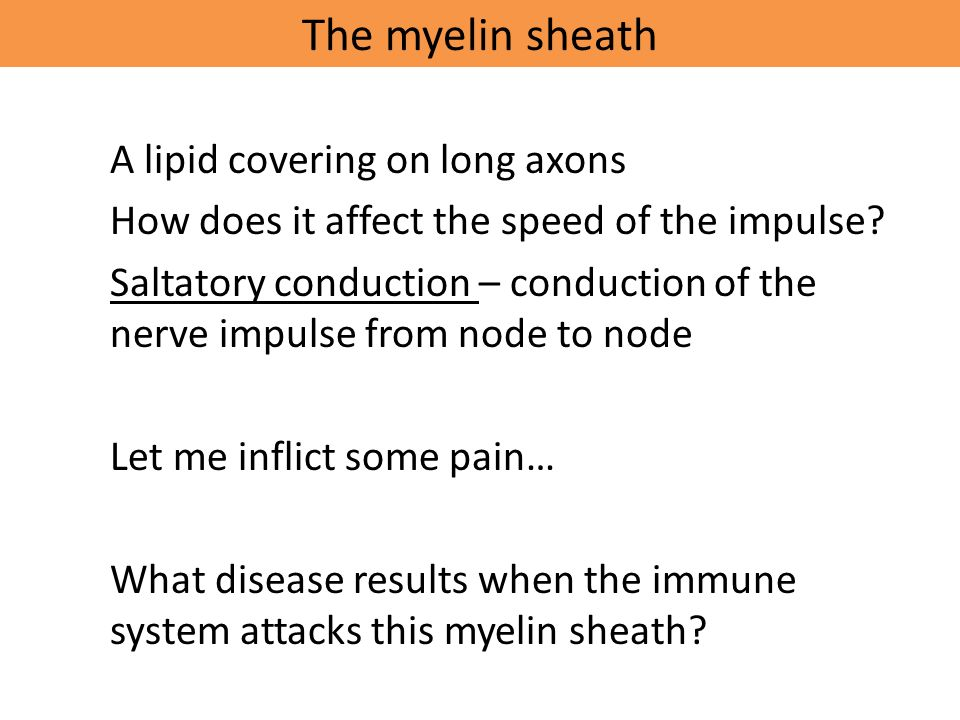 The myelin sheath A lipid covering on long axons How does it affect the speed of the impulse.