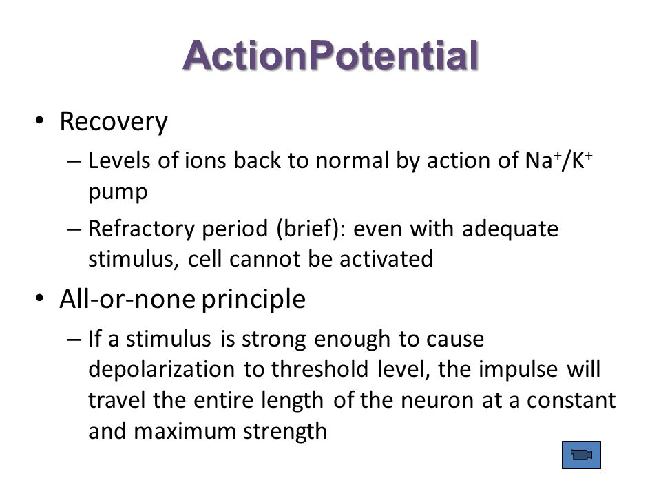 ActionPotential Recovery – Levels of ions back to normal by action of Na + /K + pump – Refractory period (brief): even with adequate stimulus, cell cannot be activated All-or-none principle – If a stimulus is strong enough to cause depolarization to threshold level, the impulse will travel the entire length of the neuron at a constant and maximum strength
