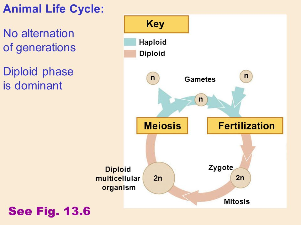 No alternation of generations Animal Life Cycle: Diploid phase is dominant See Fig.