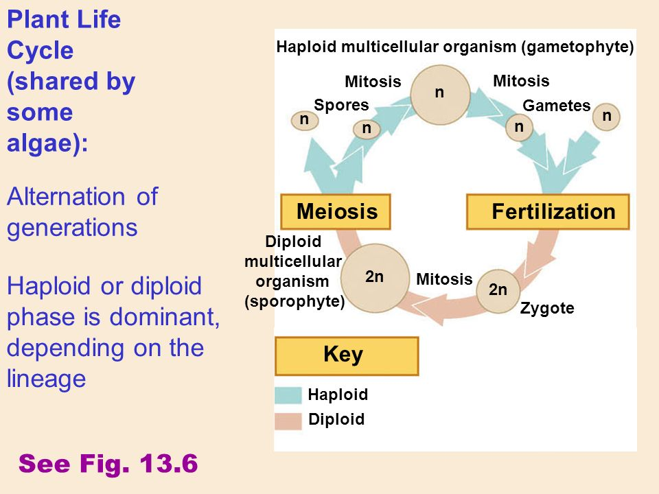Haploid See Fig.