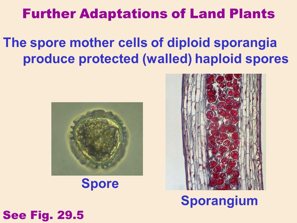 Further Adaptations of Land Plants The spore mother cells of diploid sporangia produce protected (walled) haploid spores Spore Sporangium See Fig.