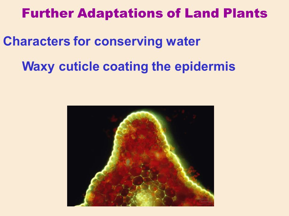 Further Adaptations of Land Plants Characters for conserving water Waxy cuticle coating the epidermis