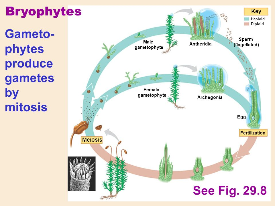 Bryophytes Meiosis Fertilization Key Haploid Diploid Male gametophyte Female gametophyte Gameto- phytes produce gametes by mitosis Antheridia Archegonia Sperm (flagellated) Egg See Fig.