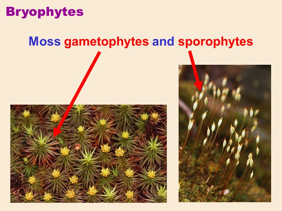 Bryophytes Moss gametophytes and sporophytes