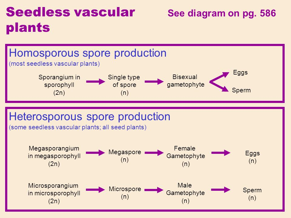 Seedless vascular plants See diagram on pg.
