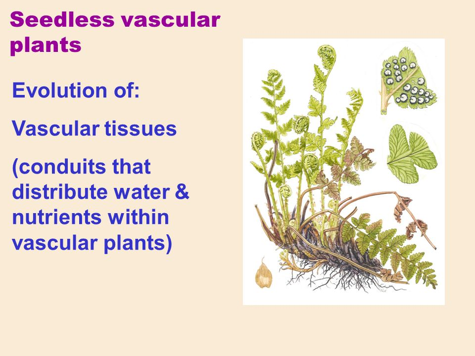 Evolution of: Vascular tissues (conduits that distribute water & nutrients within vascular plants) Seedless vascular plants