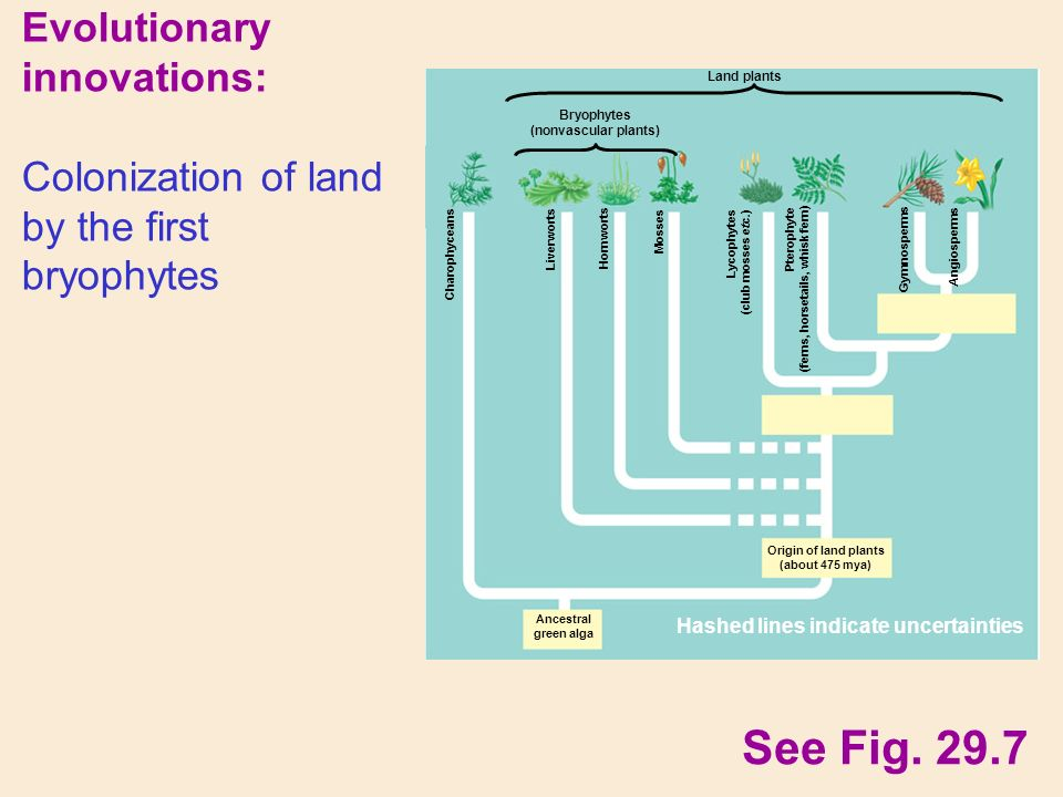Evolutionary innovations: Colonization of land by the first bryophytes See Fig.
