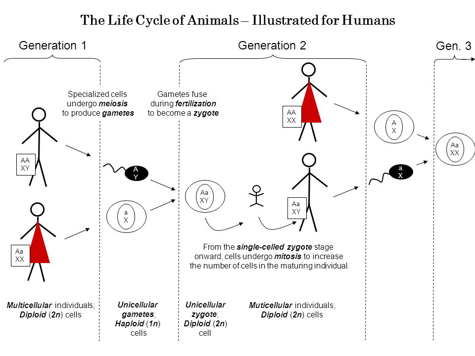 The Life Cycle of Animals – Illustrated for Humans Generation 1 Multicellular individuals; Diploid (2n) cells Unicellular gametes; Haploid (1n) cells Generation 2 Specialized cells undergo meiosis to produce gametes Gametes fuse during fertilization to become a zygote AYAY aXaX Aa XY From the single-celled zygote stage onward, cells undergo mitosis to increase the number of cells in the maturing individual.